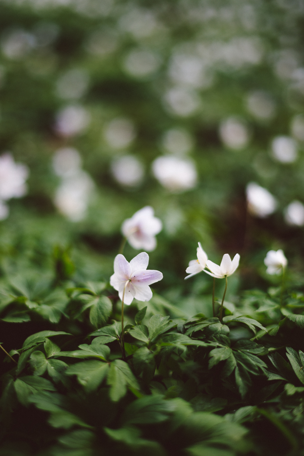 Wood Anemone by Babes in Boyland