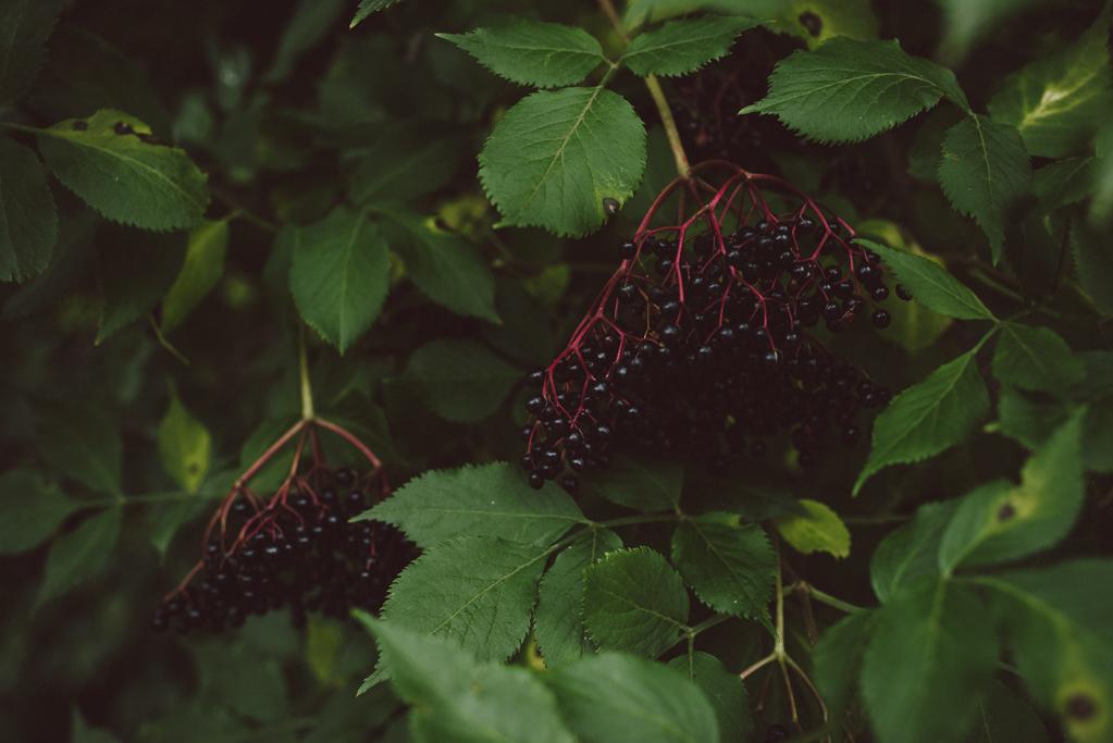 Elderflower berries by Babes in Boyland