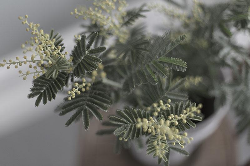 strenghielm_mimosa.1