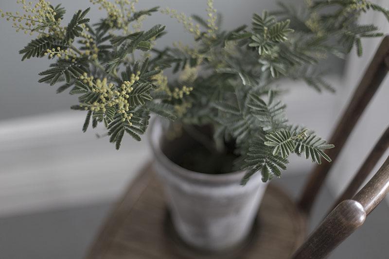 strenghielm_mimosa.2