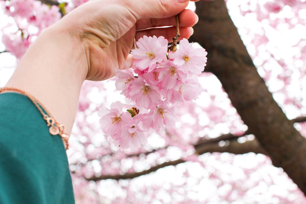 cherry blossom-11