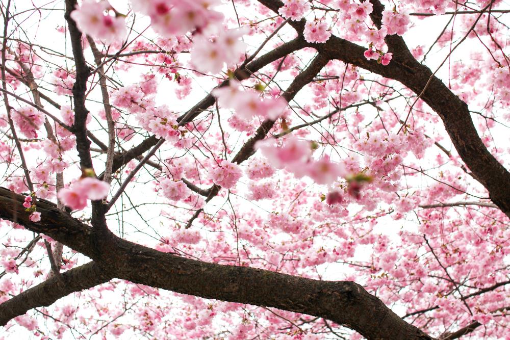 cherry blossom-6