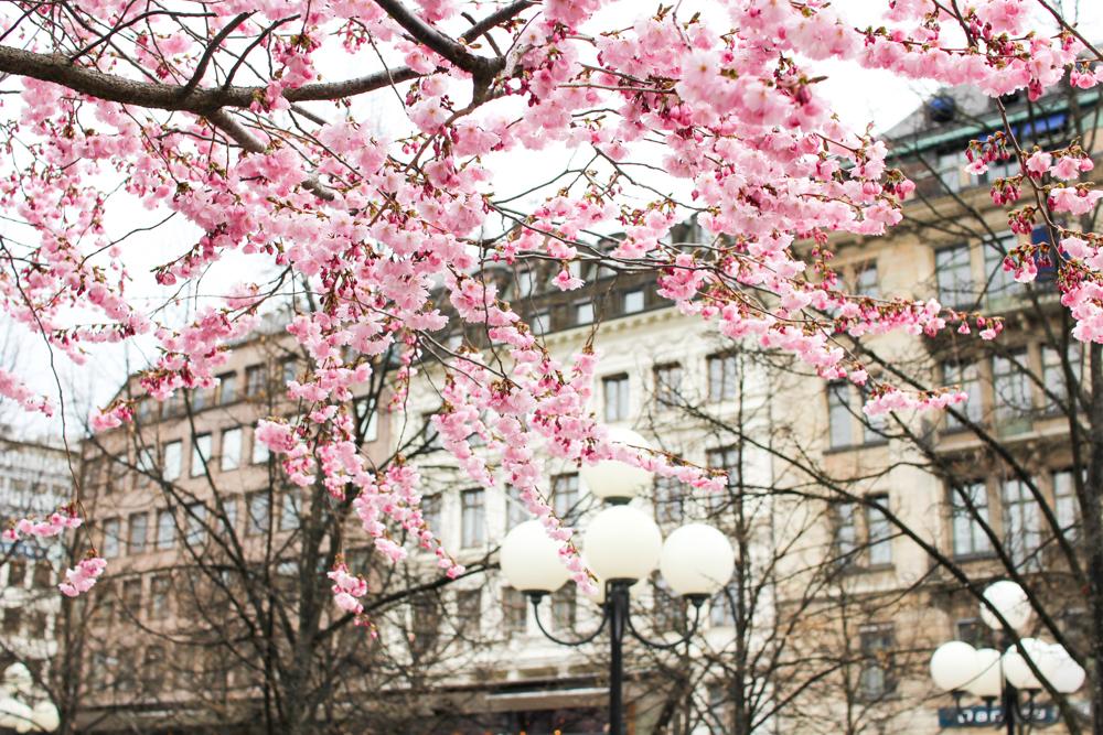 cherry blossom-8