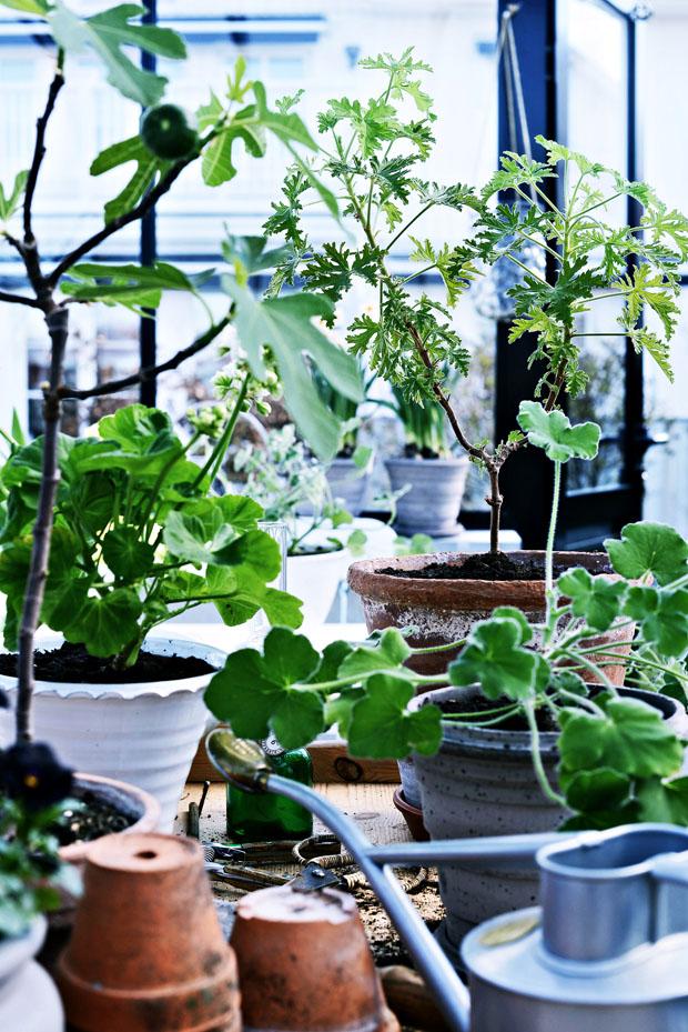 pelargonplanteringsbord