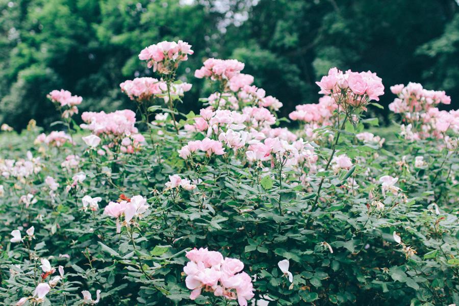 rose garden snug harbour-14